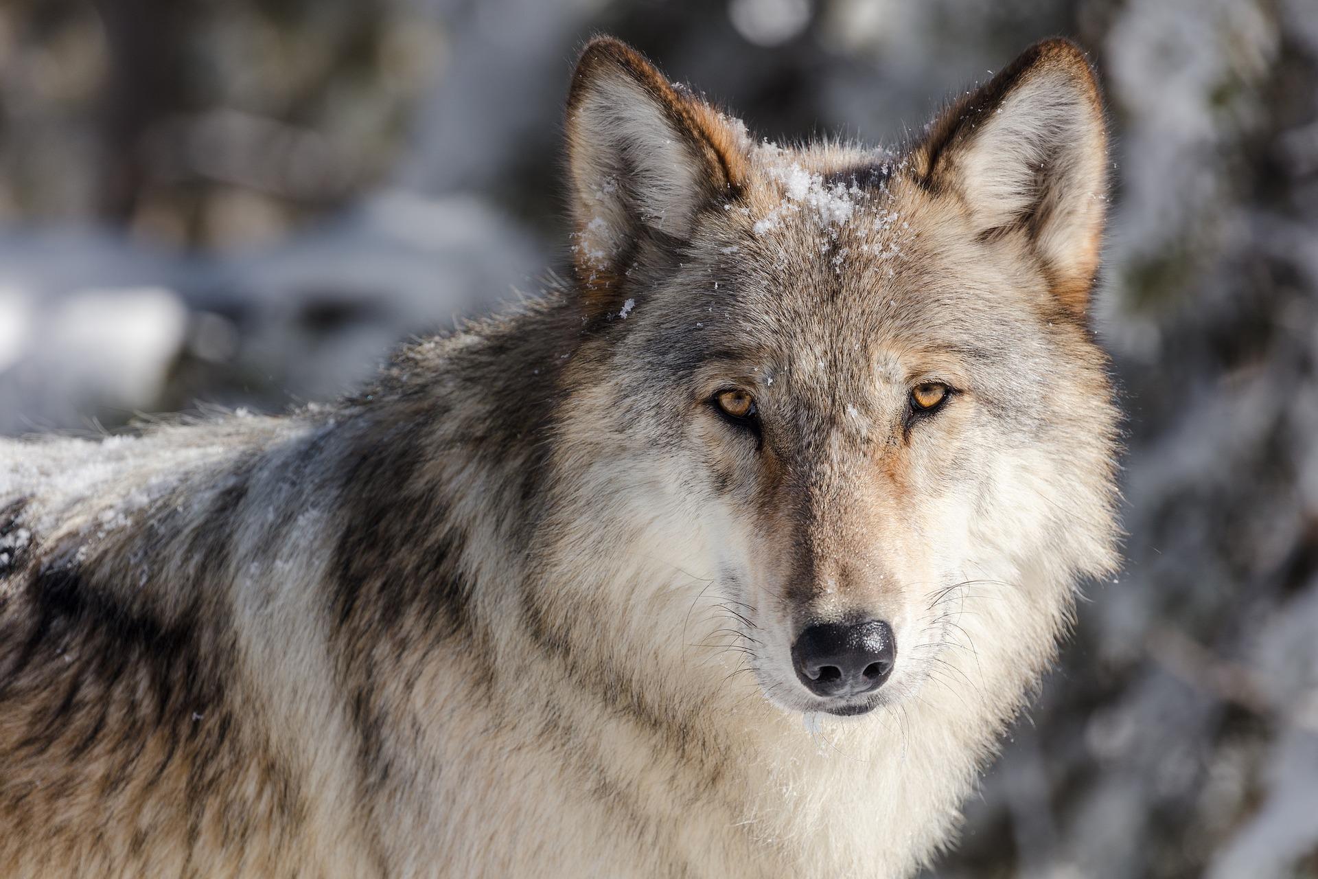 Bild Wolf