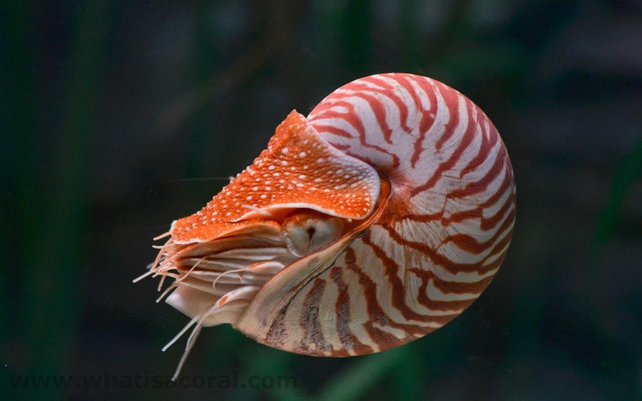 bild-eines-nautilus-perlboot